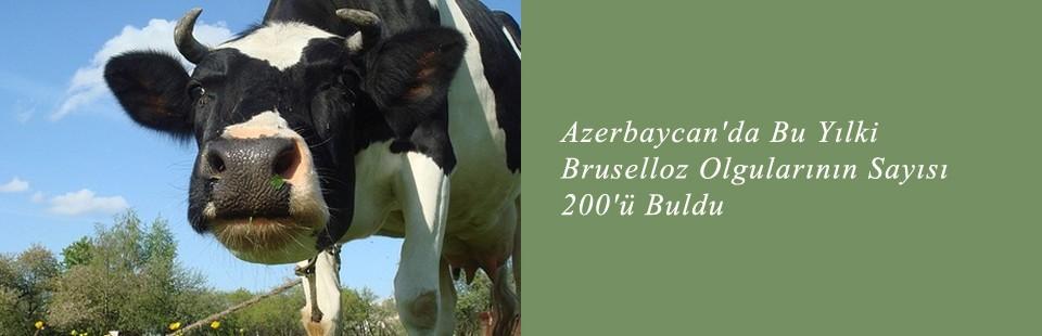 Azerbaycan'da Bu Yılki Bruselloz Olgularının Sayısı 200'ü Buldu