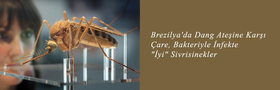 Brezilya'da Dang Ateşine Karşı Çare, Bakteriyle İnfekte İyi  Sivrisinekler