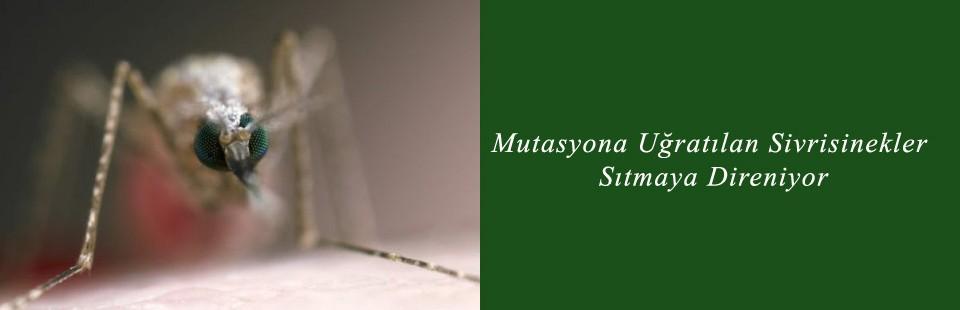 Mutasyona Uğratılan Sivrisinekler Sıtmaya Direniyor