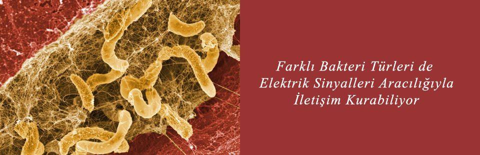 Farklı Bakteri Türleri de Elektrik Sinyalleri Aracılığıyla İletişim Kurabiliyor