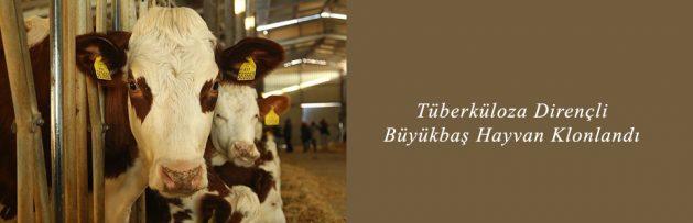 Tüberküloza Dirençli Büyükbaş Hayvan Klonlandı